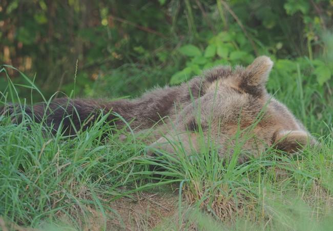 Bärin versteckt im Gras, döst