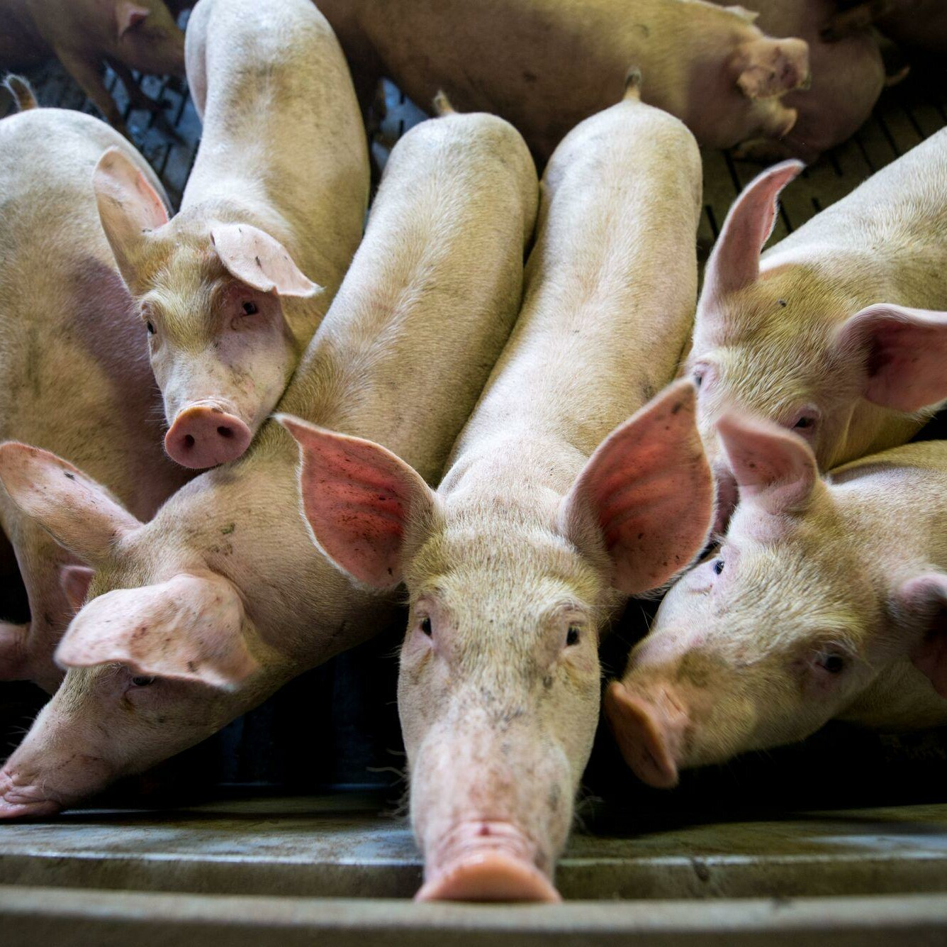 Helfen Sie VIER PFOTEN das Leiden der Schweine zu beenden