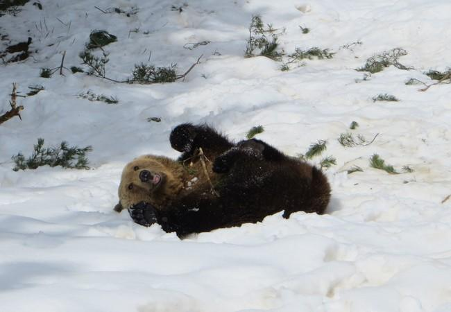 Brown bear Riku playing in the snow, 2018