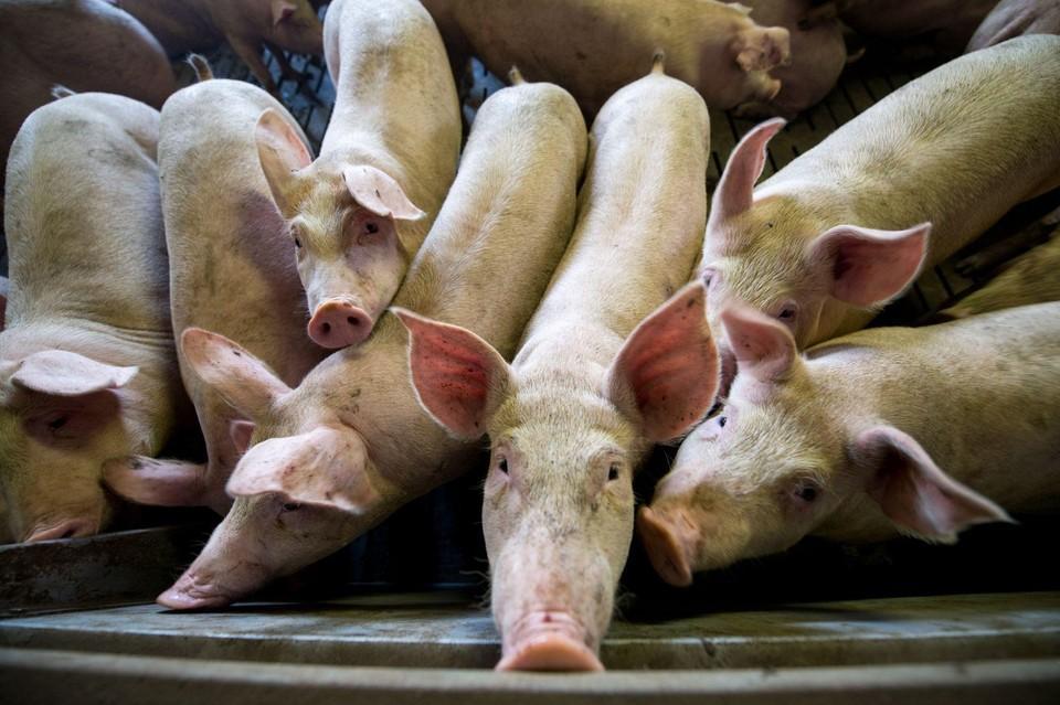 Schweine in Intensivtierhaltung