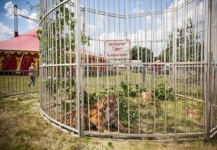 Tiger im Käfig auf Zirkusgelände