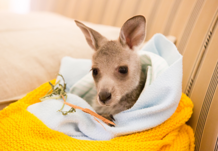 An orphaned kangaroo in Australia