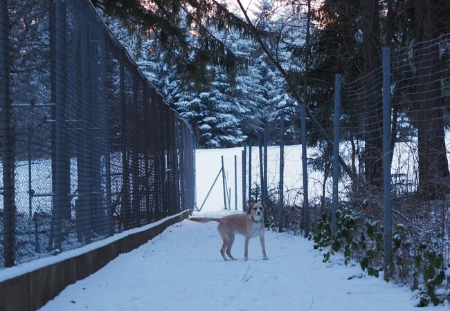 Schneelandschaft, in der Mitte steht ein mittelgroßer hellbrauner Hund Fanni