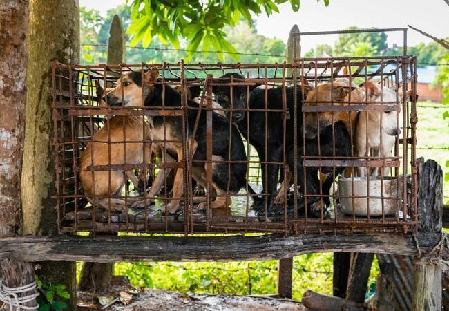 Hunde eingepfercht in einem Käfig auf einem Schlachthof