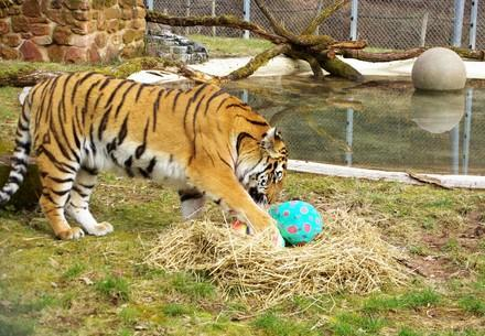 Tiger playing with enrichment