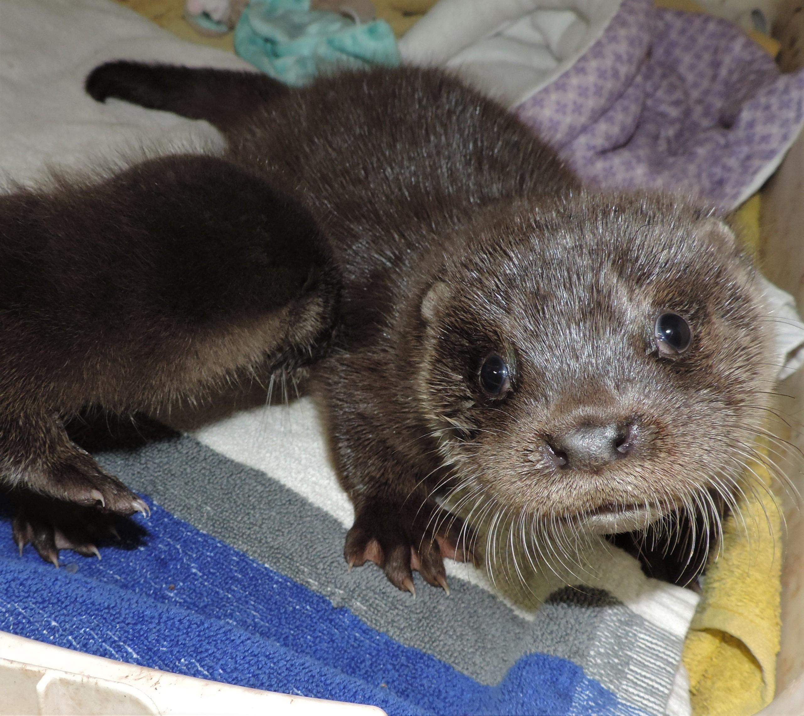 Neugieriger Blick von dem Otter-Mädchen