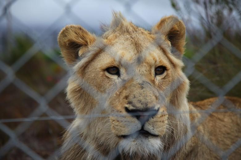 Lion at breeding farm