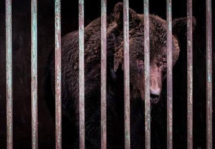 Brown bear used for fighting, behind bars in Ukraine