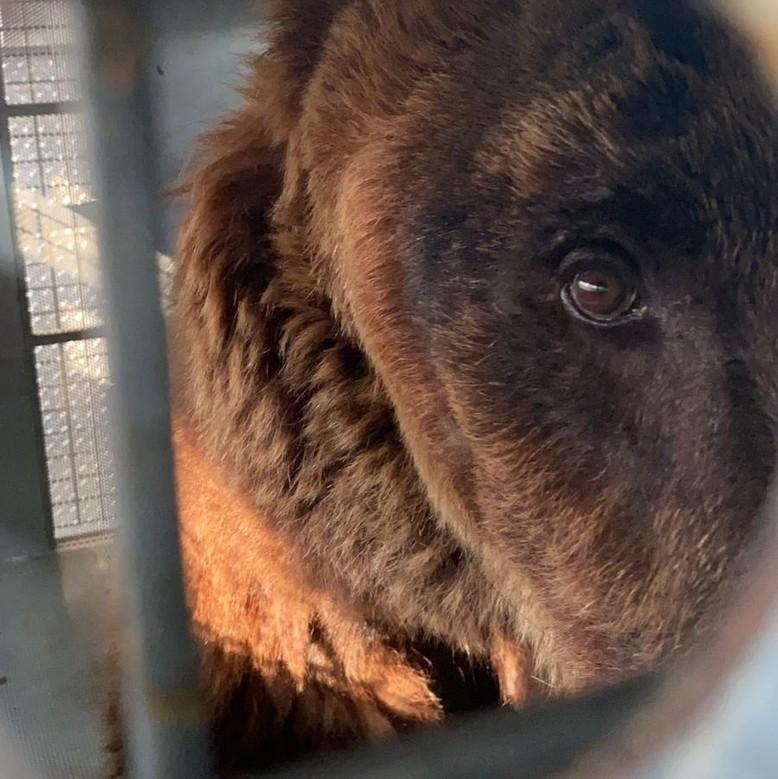 Beirut Bears look out through their traveling crate