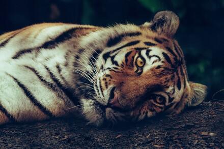 Tiger suffer EU Tiger Trade