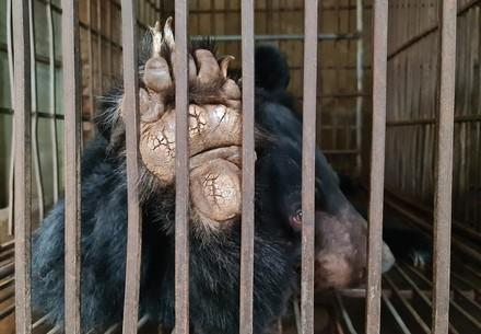 Bad keeping conditions of bears in Vietnam