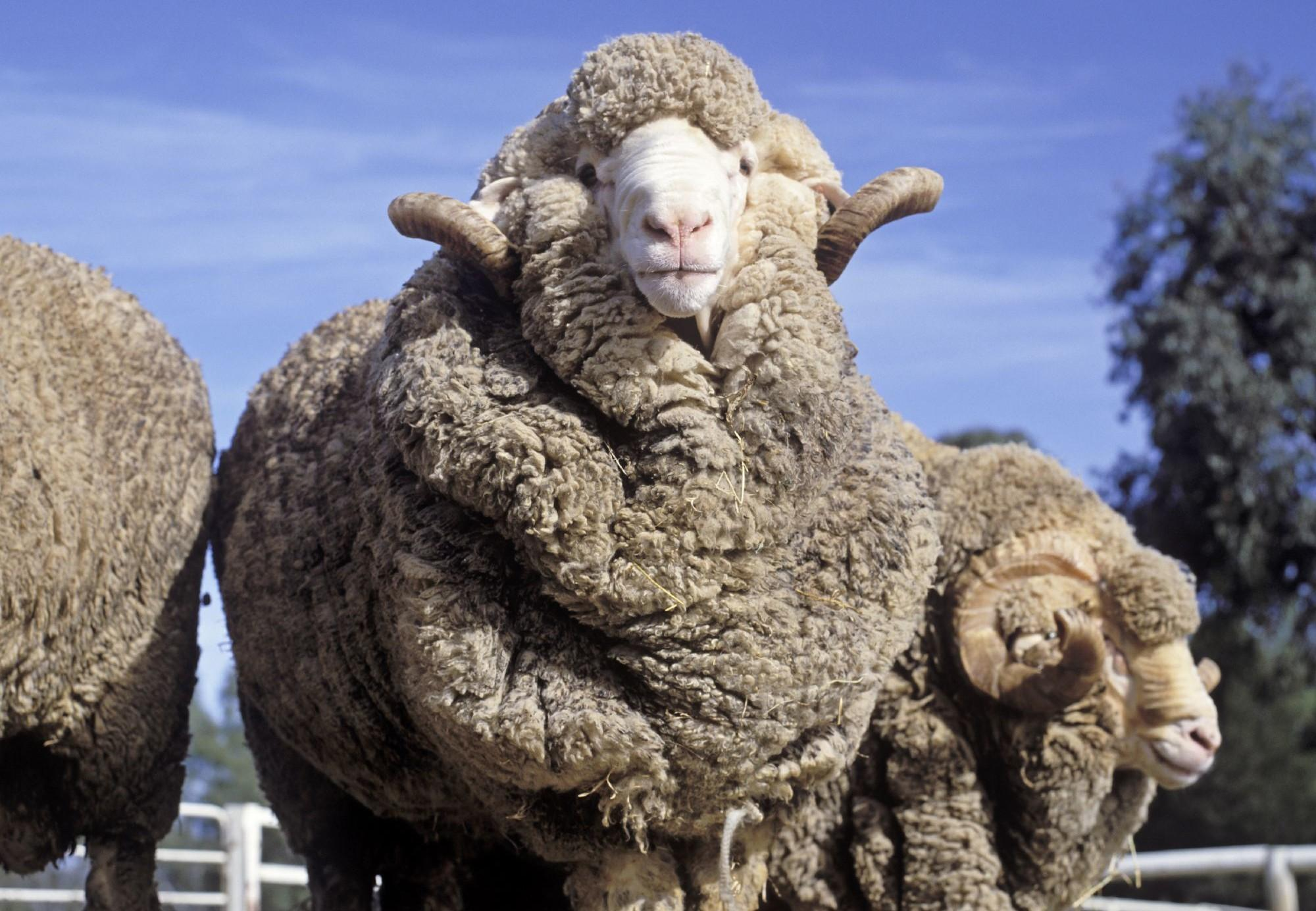 Sheep in Australia