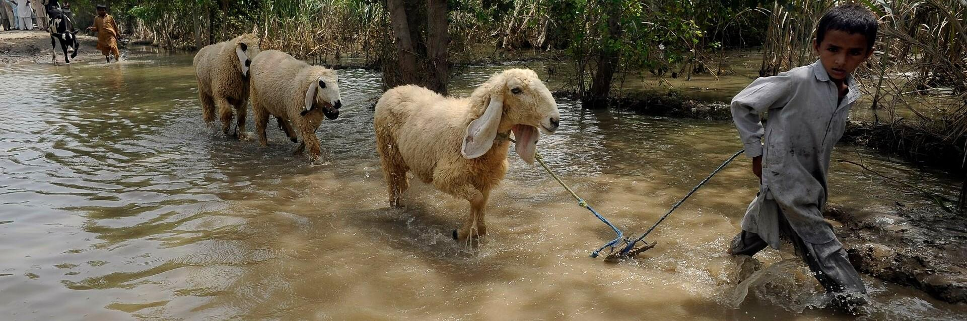 Sheep being led safety in a flood