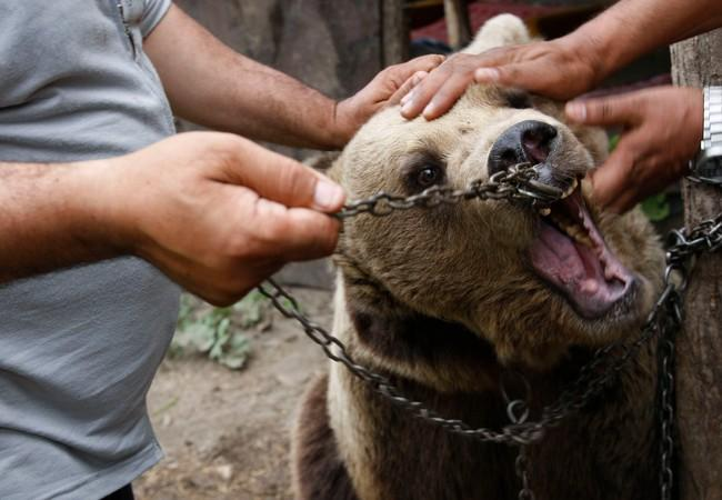 Brown bear forced to perform by chains in face
