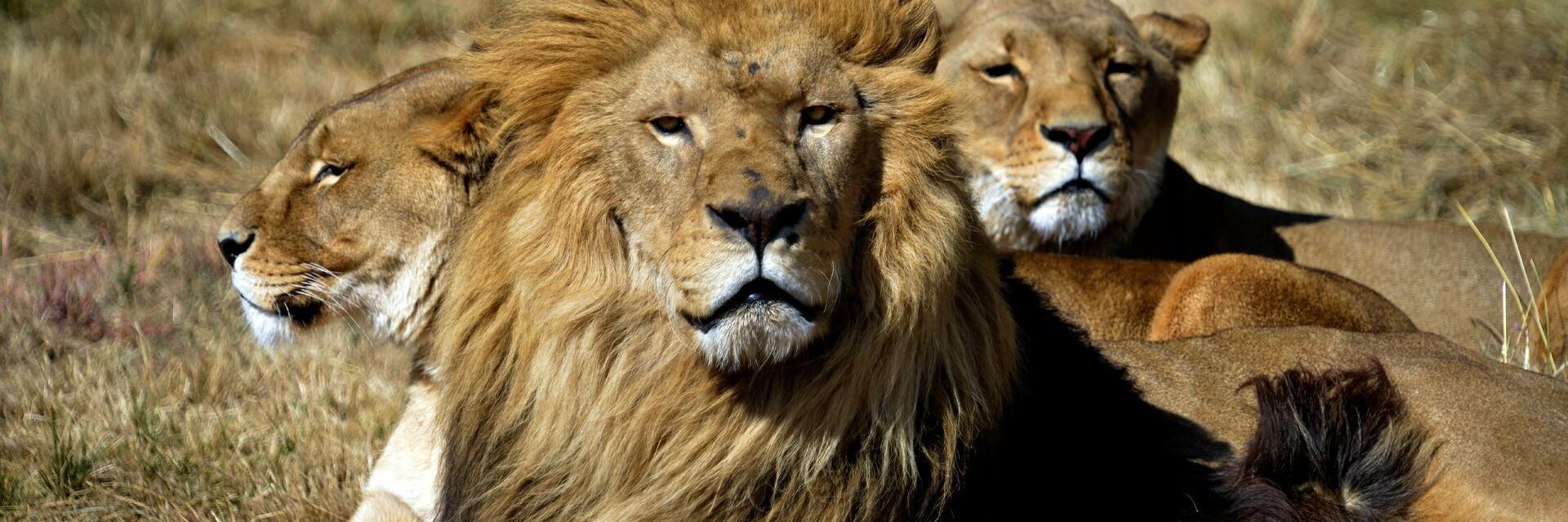 Lions at LIONSROCK