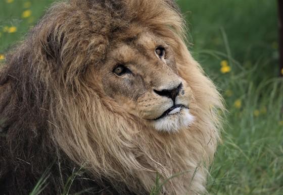 Kongo in LIONSROCK