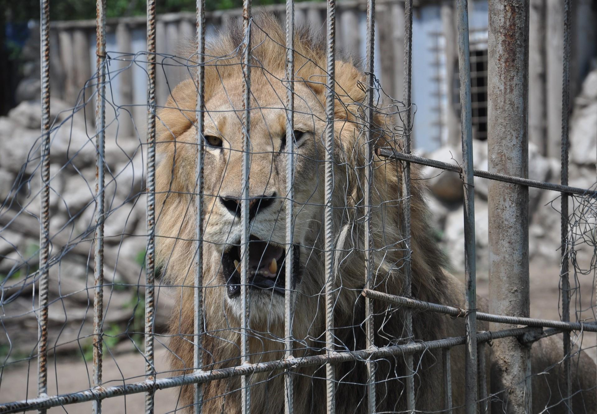 Help save lion Simba and siblings