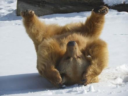 Bär Vinzenz tollt im Schnee herum