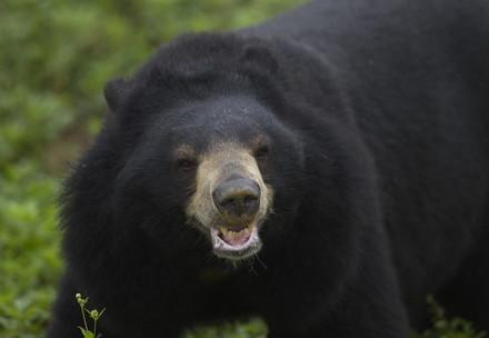 Asiatic black bear in Ninh Binh