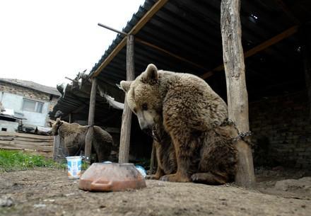 Tanzbären Svetla und Mima in Ketten