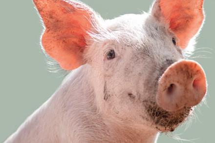 Emma le cochon