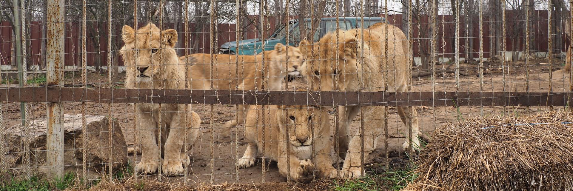 Sieben Löwen in einem Käfig in Rumänien