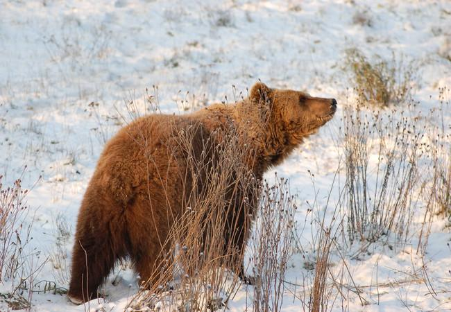 Brown bear Felix in winter
