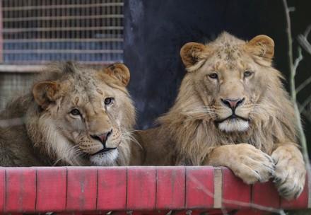 Lions Terez & Masoud at FELIDA