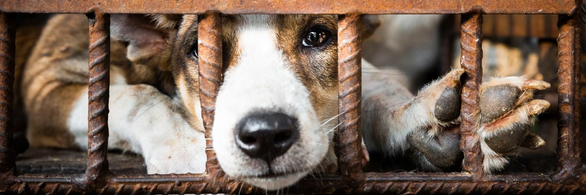 End the Dog Meat Trade in Cambodia