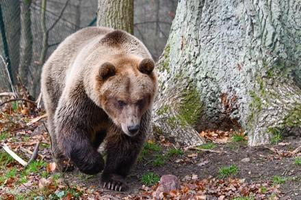 Braunbär Rocco lebt seit 2019 im BÄRENWALD Müritz. Zuvor wurde er in einem winzigen Käfig in Albanien als Haustier gehalten.