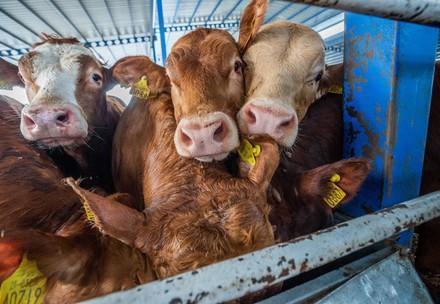 Rinder auf einem Transportschiff