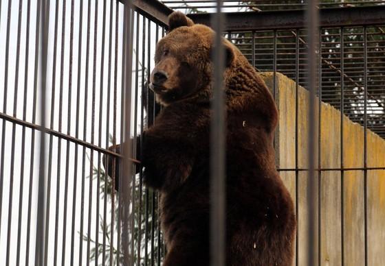 Bär in einem Käfig in Polen