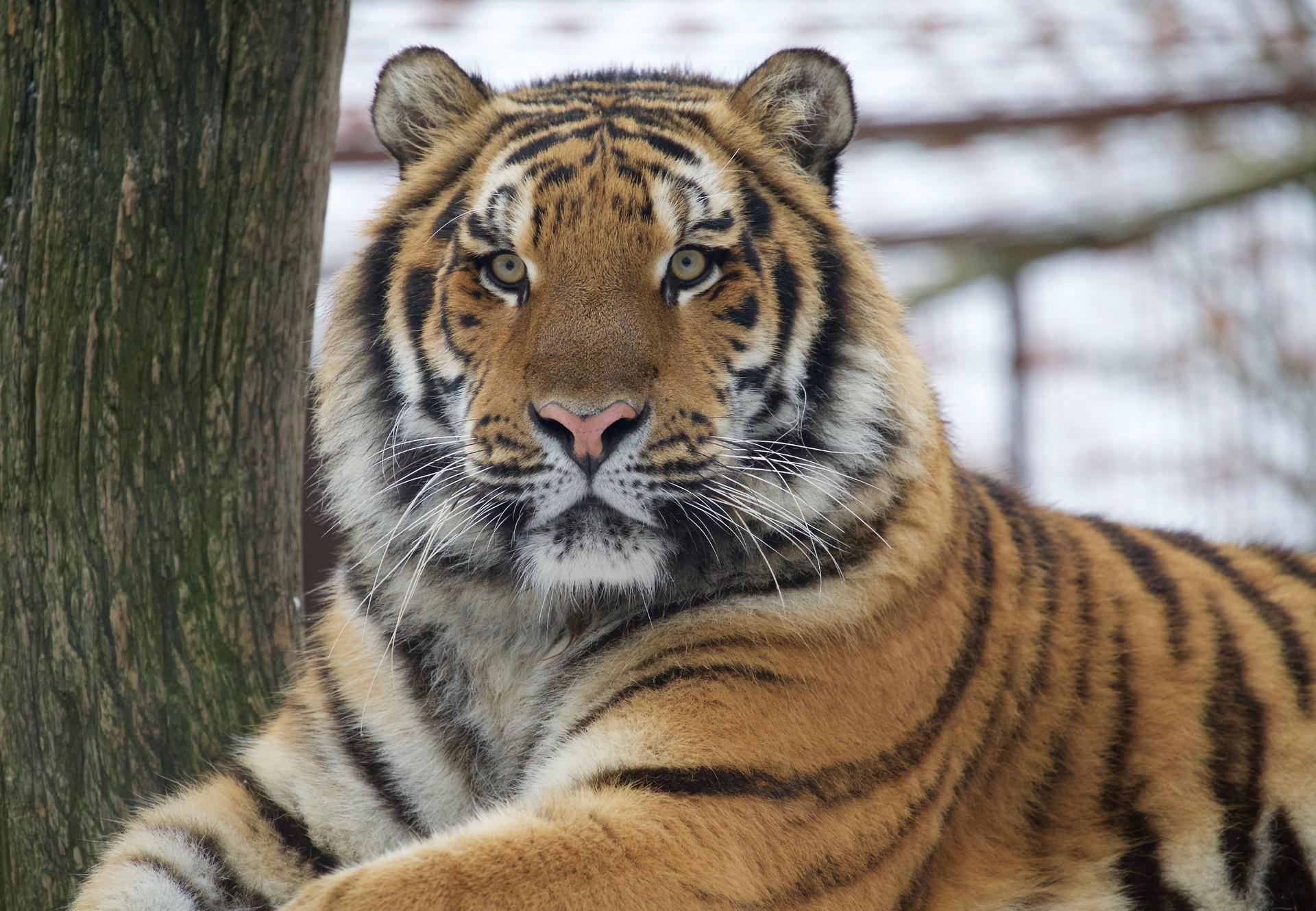 Tiger Sultan