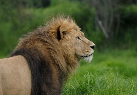 Side profile of lion in enclosure