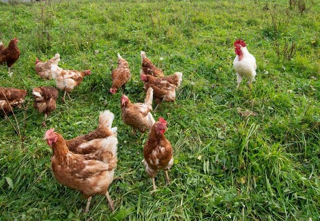 Gockel leben mit den Hühnern