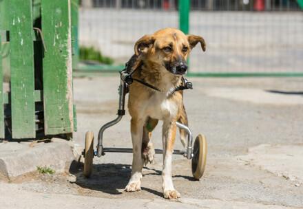 Куче в инвалидна количка