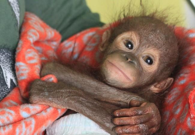 Orang-Utan Gerhana als Baby
