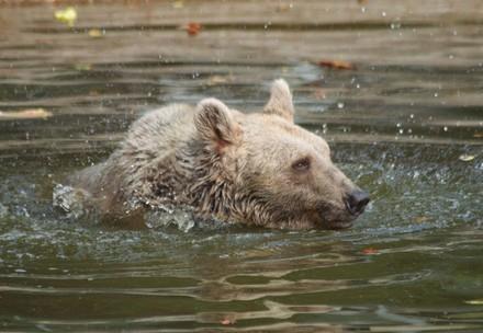 Bär im Teich