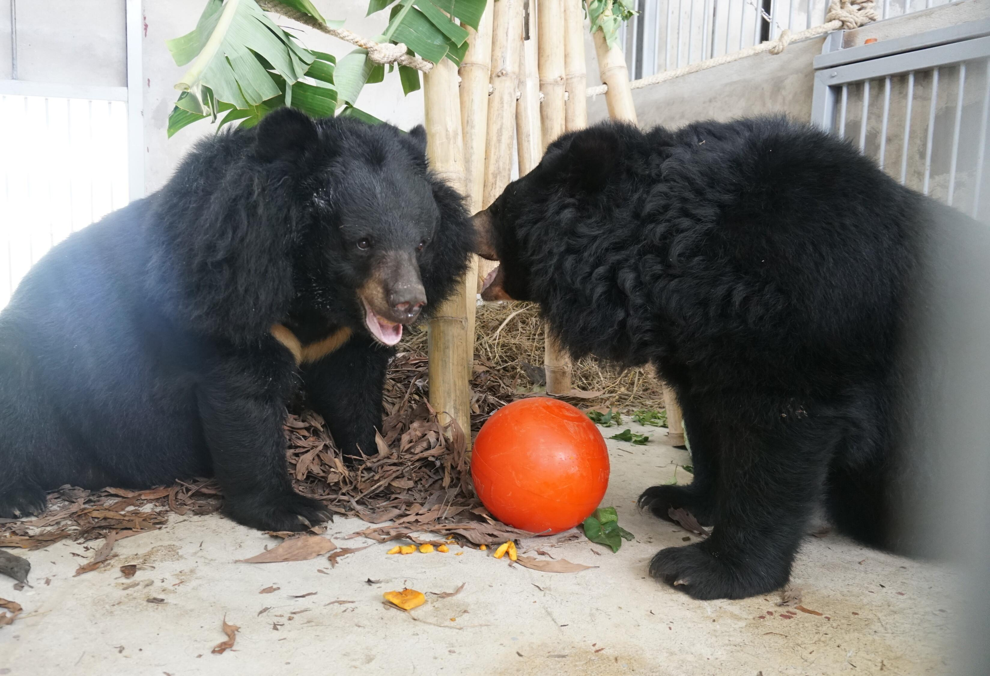Bears Hoa Lan and Hoa Tra