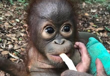 Baby Orangutan Bhima