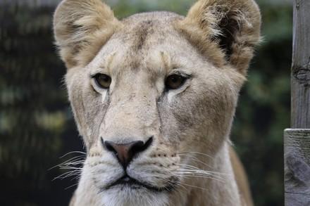 Lioness Ellie