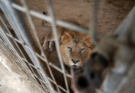 Lion au zoo de Rafah