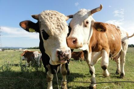 Cattle and climate change