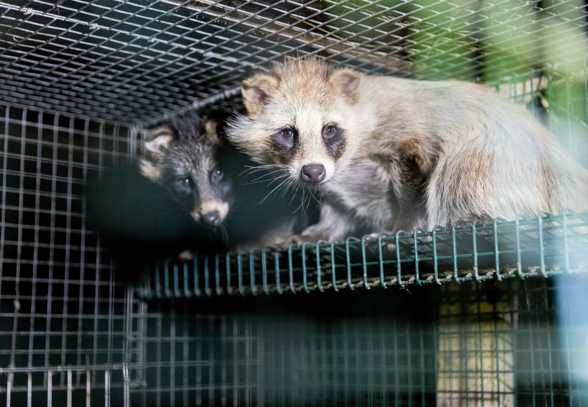 Racoon dogs at a furfarm in Finnland