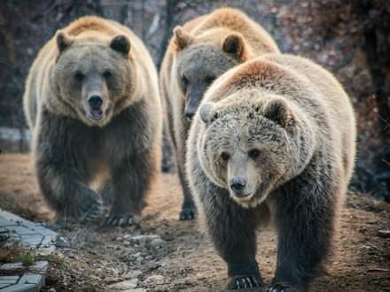 Bears Ema, Oska and Ron
