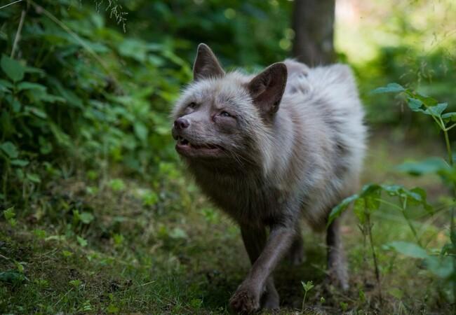 Fuchs Frodo erkundet die Aussenanlage