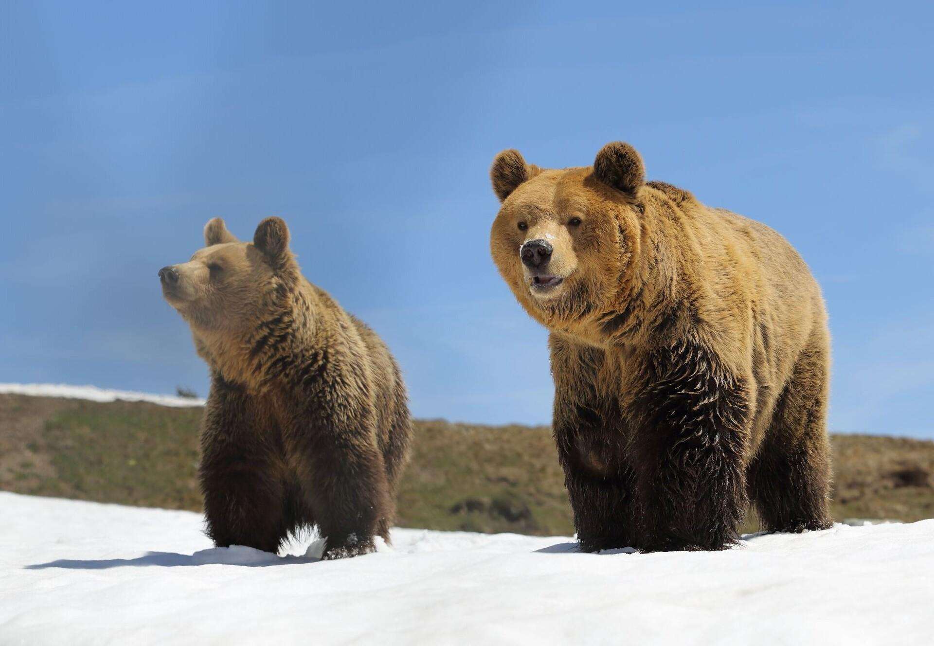 Brown bears Amelia and Miemo in the snow