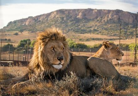 Lions in a sanctuary
