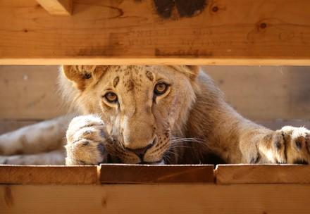 Lion Masoud