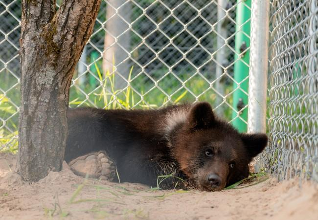 Andor taking a rest in his enclosure